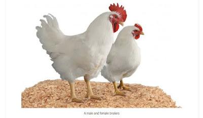 differentiate male and female broiler chicken