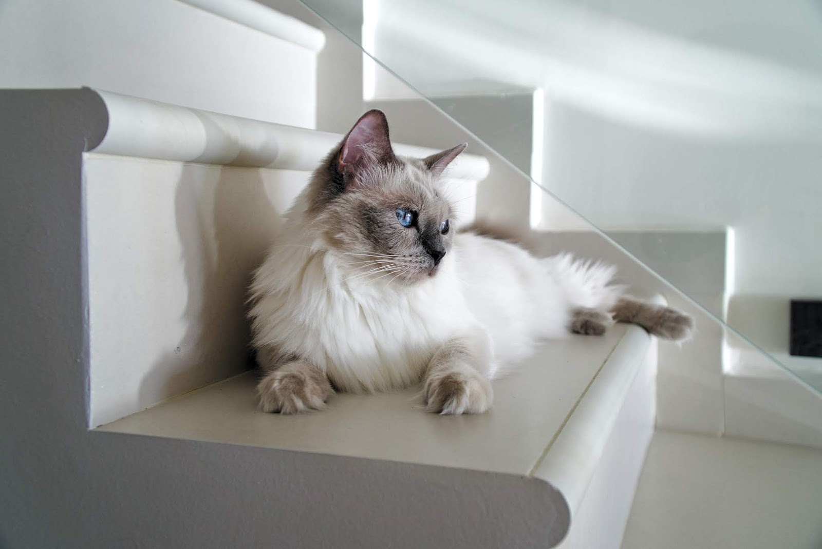 long-fur white cat lying on white stairs,cat images