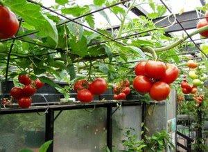 Menanam Tomat Hidroponik Dengan Botol Bekas Toko Tanaman