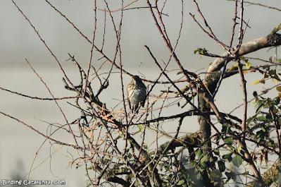 Tord (Turdus philomelos)