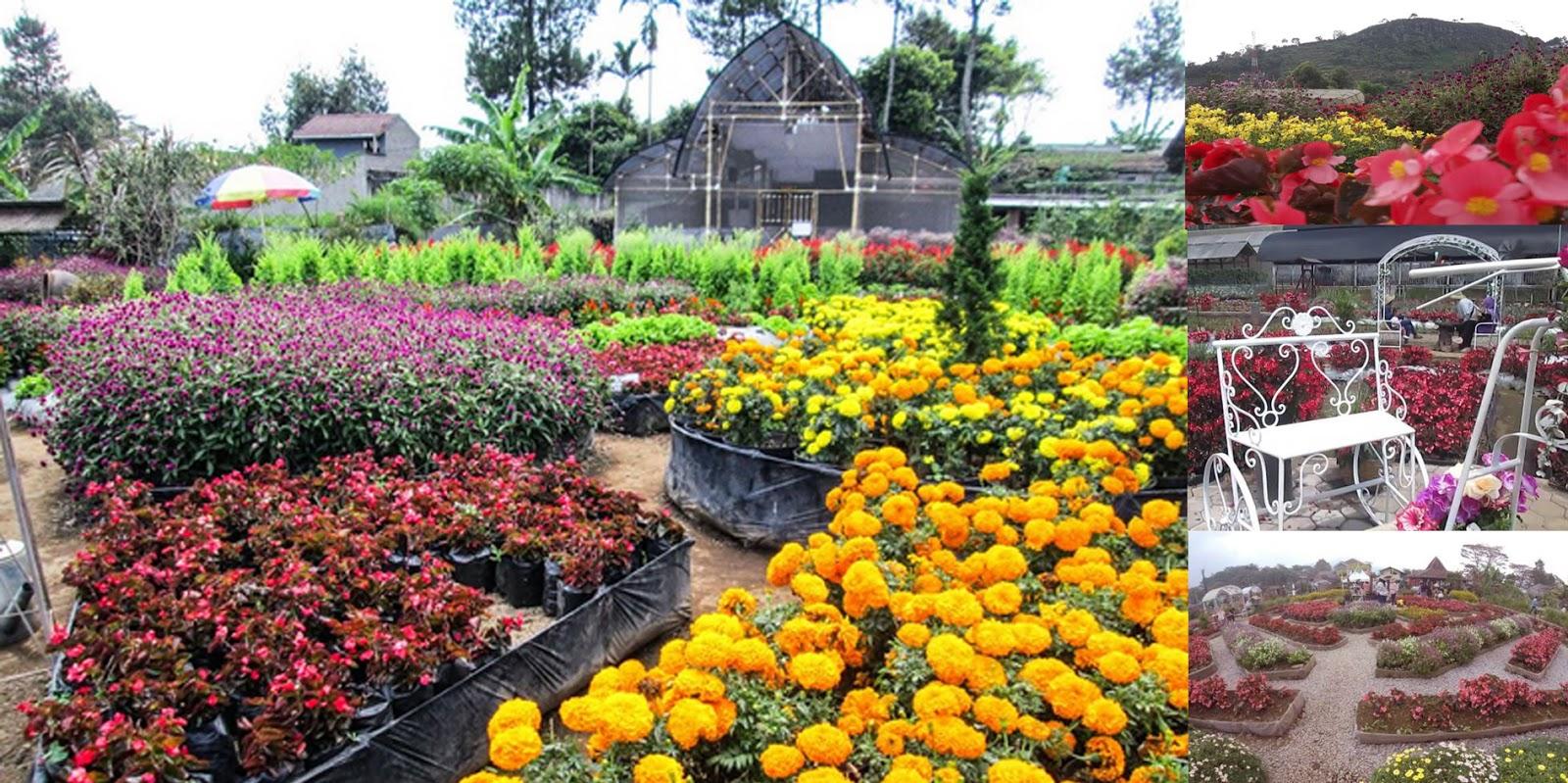 Kebun  Bunga Begonia Maribaya Lembang