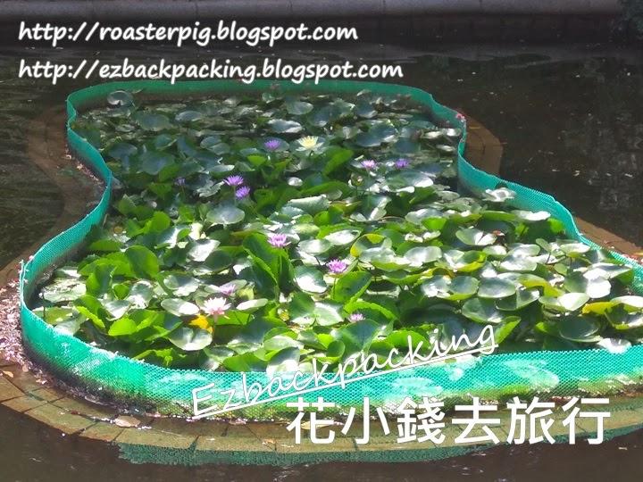 九龍公園睡蓮