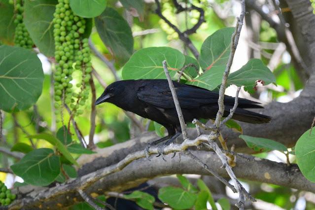 Corvus ossifragus