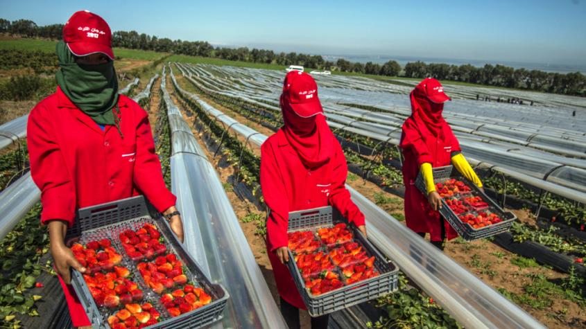 """الحصيلة الأولية لعملية جني الفراولة والفواكه الحمراء في """"ويلبا"""" إيجابية حسب بلاغ مشترك للحكومتين المغربية والإسبانية"""