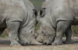 Asesinan un rinoceronte en un zoo de las afueras de París para arrancarle el cuerno
