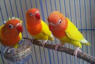 Cara Tepat Ternak Burung Lovebird Hasil Fantastis