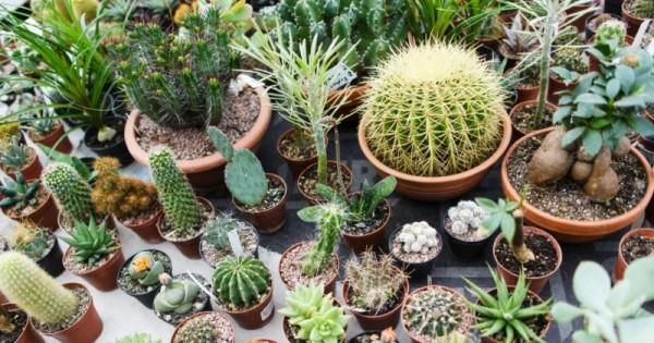 kaktus dalam ruangan