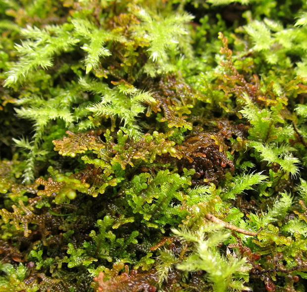Leafy Liverworts