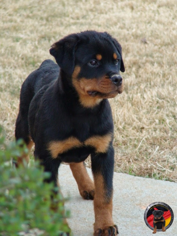 Rules Of The Jungle German Rottweiler Puppies