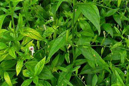8 Manfaat daun sambiloto untuk kesehatan