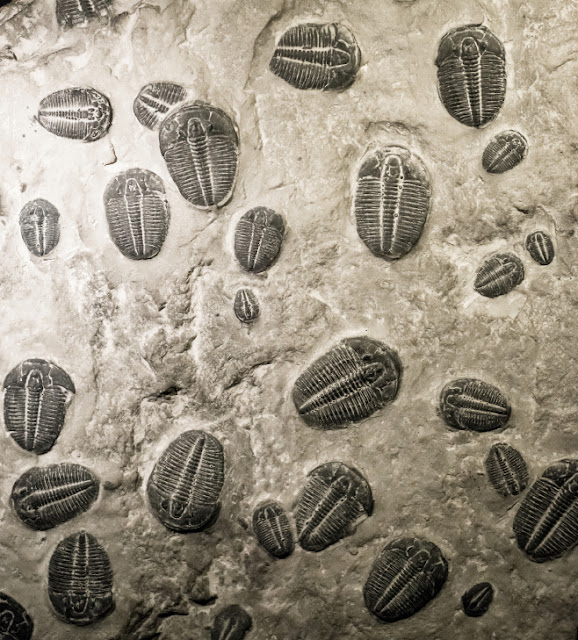 The Cambrian explosion in the fossil record. Ancient trilobites fossils in stone. 07-08-13 ©Zheka-Boss. Copyright ©2014 iStockphoto LP.