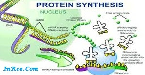 Material Protein Synthesis PDF PPT DOC [Complete]