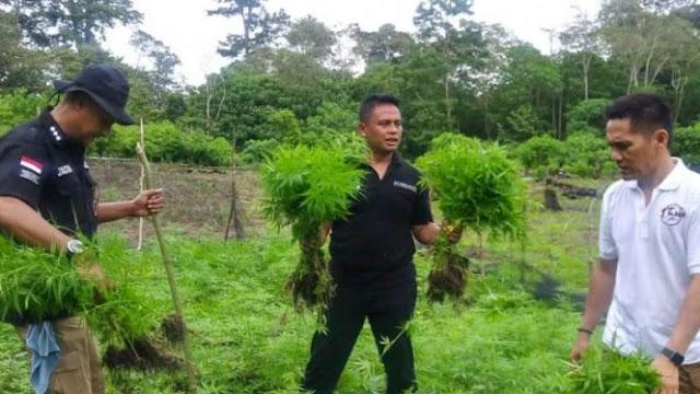 Ladang Ganja 8,5 Hektare di Aceh Dimusnahkan