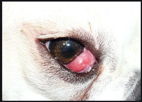 Dogs Eyes, puppies eyes red,