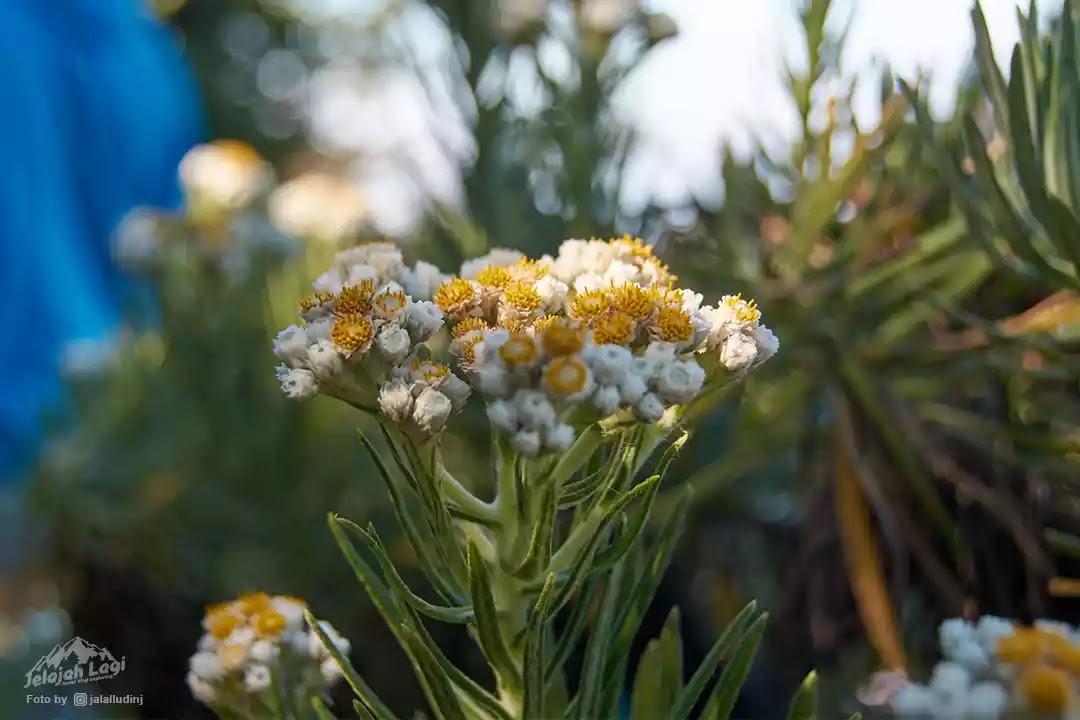 Bunga Edelweis Jawa - Foto Jaenal Jalalludin