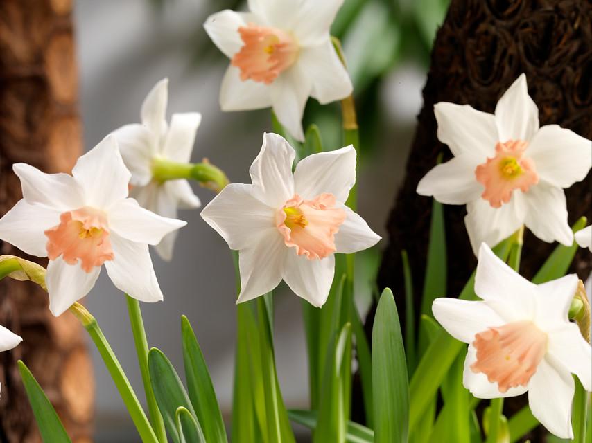 flores blancas de narcisos enanos o miniatura