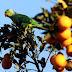 Παπαγαλάκια έχουν κυριεύσει τα πάρκα της Αθήνας