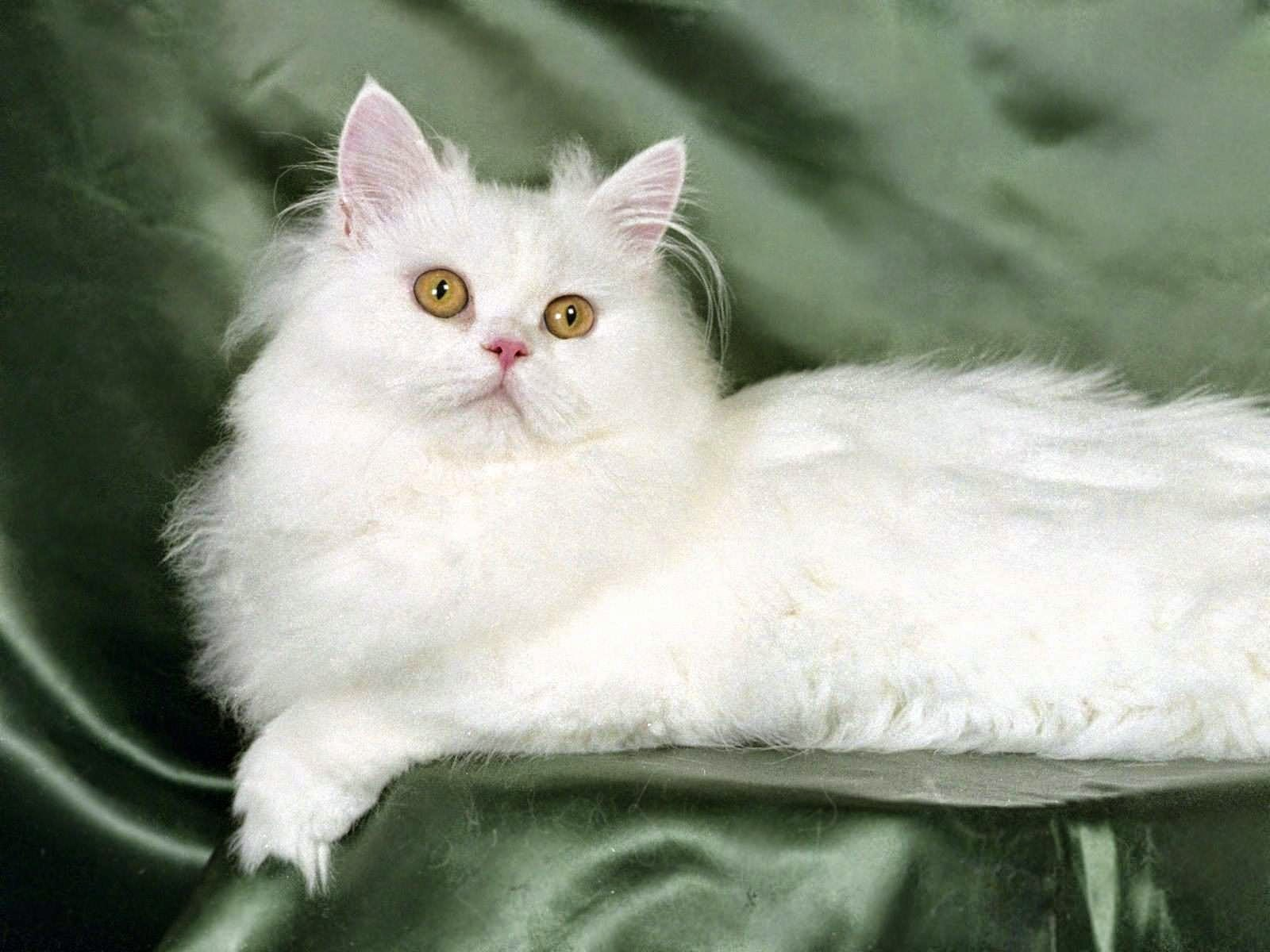 Rasy Kotów Kot Perski Biały Wszystko O Kotach