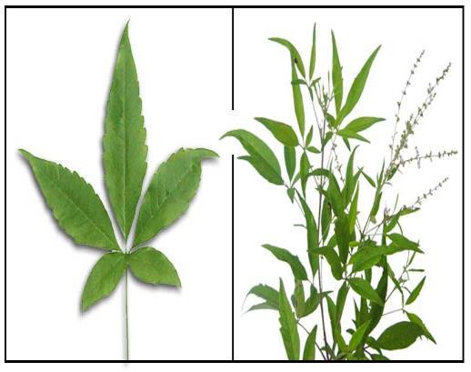 Herbal Plant News: Lagundi - Vitex negundo