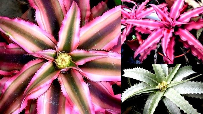 Tanaman Nanas-nanasan, cryptanthus care, cryptanthus pink star, cryptanthus red star, cryptanthus for sale, cryptanthus black mystic, cryptanthus bivittatus, tillandsia, guzmania, tanaman unik, tanaman hias rumah