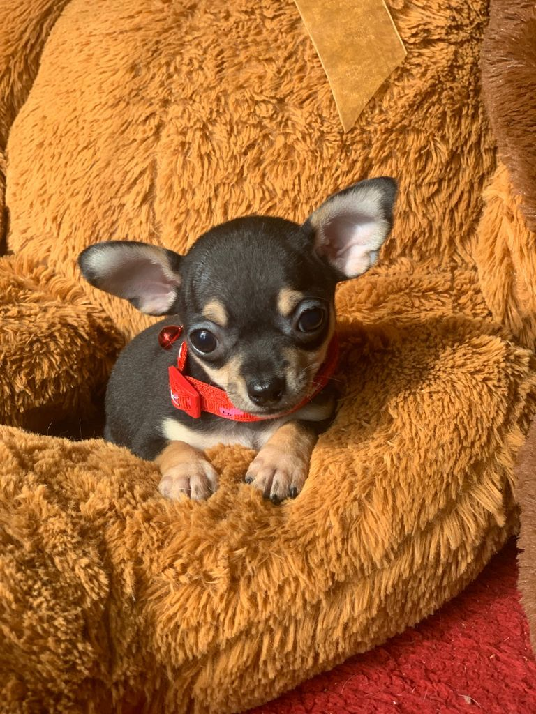 Busca comprar Chihuahuas de Bolsillo ?