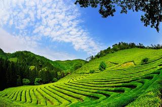 Tempat Wisata Korea Selatan Ladang Teh Hijau Boseong