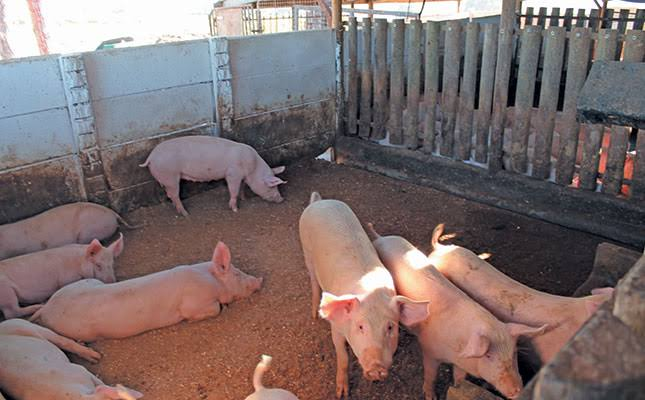 How To Start A Profitable Pig Farming In Ghana