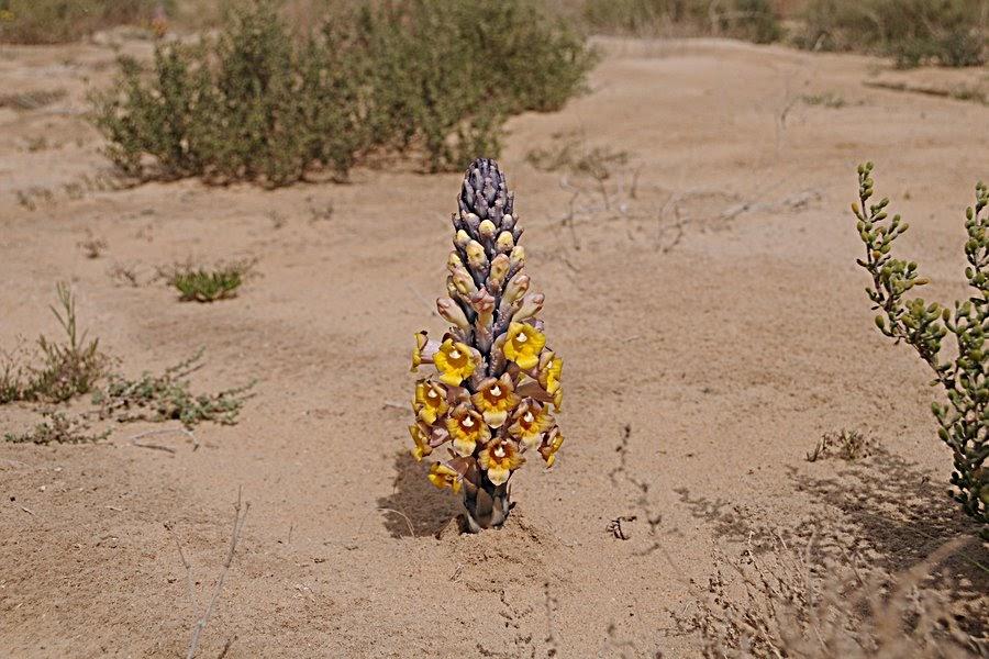 Desert Hyacinth (Cistanche tubulosa)