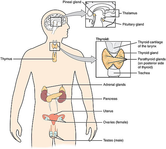 what is the endocrine system in hindi,endocrine system organs,endocrine system glands, endocrine system diseases, list of endocrine glands and their hormones,endocrine system pdf,endocrine system facts,what is the endocrine system , अन्तः स्त्रावी तंत्र ,शरीर की प्रमुख अन्तः स्त्रावी ग्रंथियाँ Importent Endocrine glands of Body, Hypothalamus gland ,हाइपोथैलेमस ग्रंथि , Pineal gland ,पीनियल ग्रंथि, Pituitary gland ,पीयूष ग्रंथि , Thyroid gland ,थाइरोइड ग्रंथि या अवटु ग्रंथि , Parathyroid gland ,पैराथाइरोइड ग्रंथि