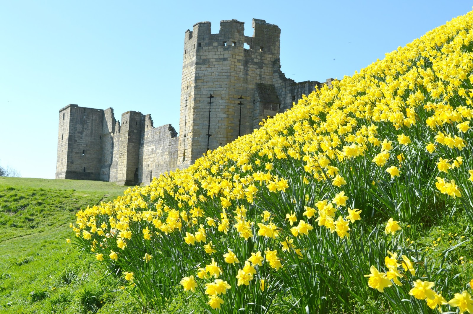 Warkworth Castle Northumberland Daffodil Display