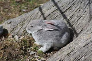 Grey Bunny.