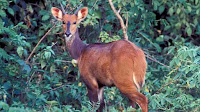 african bushbuck pictures