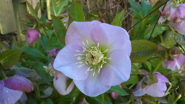 Life between the flowers Growing and caring for hellebores