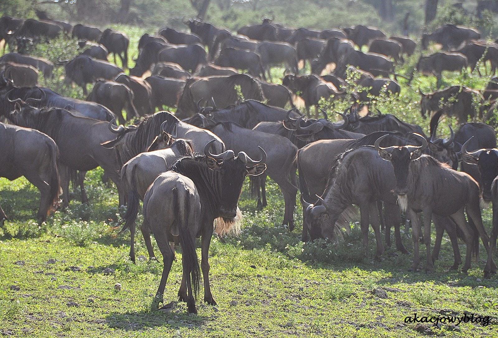 Tanzania - śladem wielkiej migracji gnu.