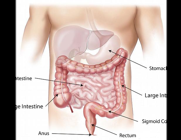 Daftar Harga Organ Tubuh Manusia, Usus Halus