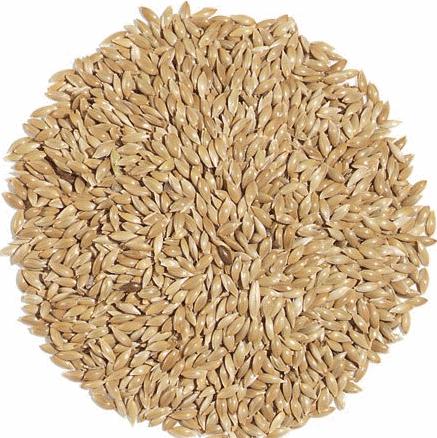 Canary Seed بذور الكناري الفلارس الزوان البراقة  صورة غذاء الطيور Alpiste بذور Yellow Graine de canari صفراء