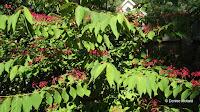 Shasta viburnum in Anne's Garden - Stratford, CT