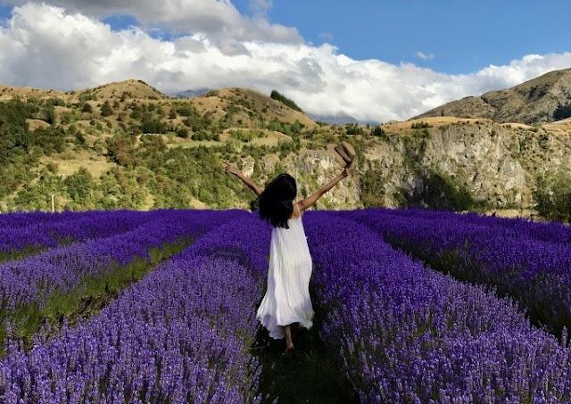 cánh đồng hoa oải hương đẹp nhất thế giới 33