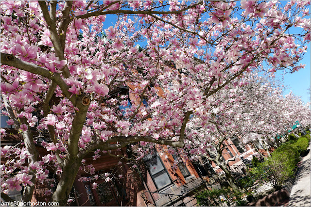 Magnolias en las Calles de Back Bay en Boston