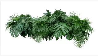 Half breed Philodendrons