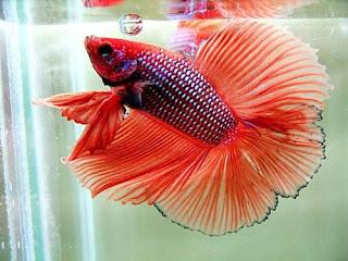 """Ikan Cupang Double Tail / Cagak"""
