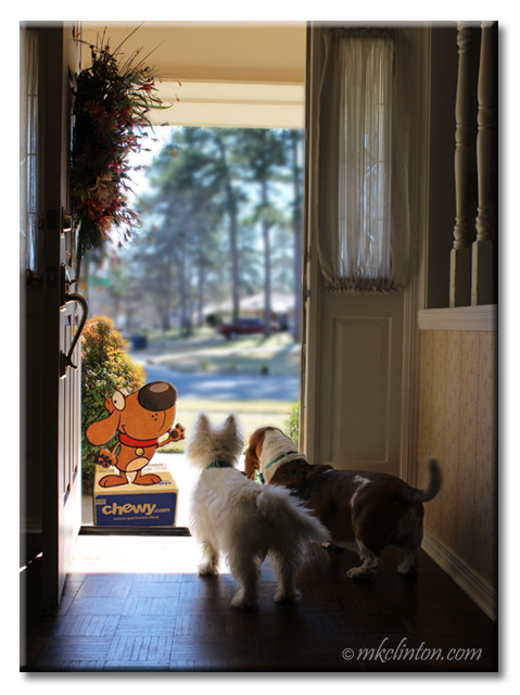 Westie and basset at front door to discover Chewy.com mascot on top of delivery box.