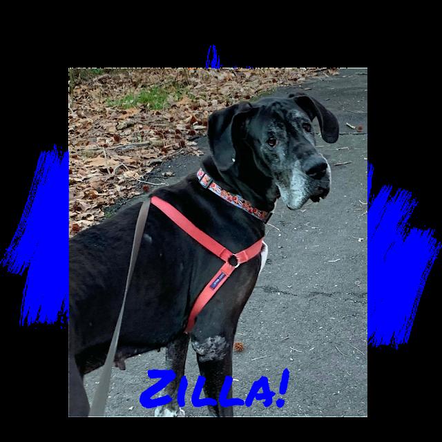 Great Dane Dog Adoption