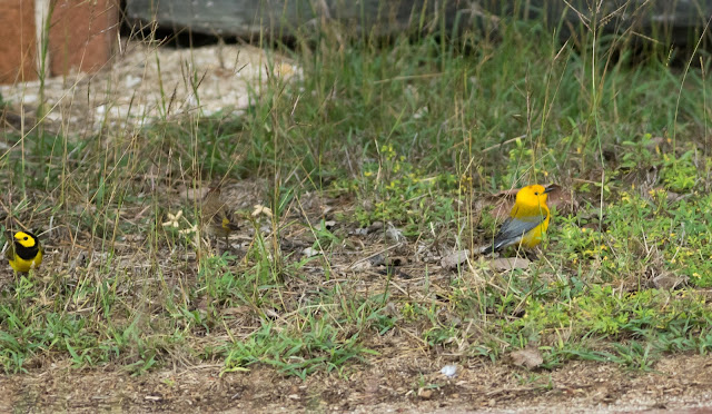 Hooded, Palm and Prothonotary Warblers - Dry Tortugas, Florida
