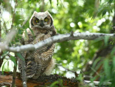 Photo of a young Great Horned Owl on a branch
