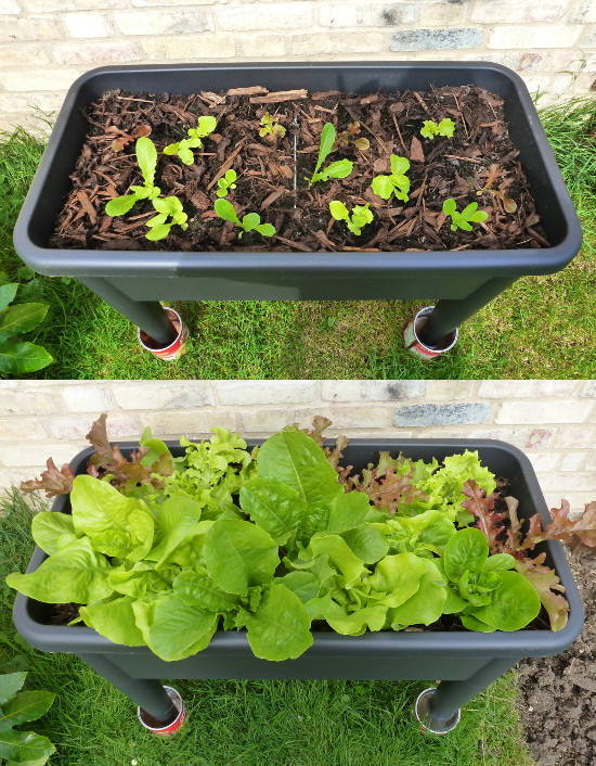 lettuce growing in a raised container