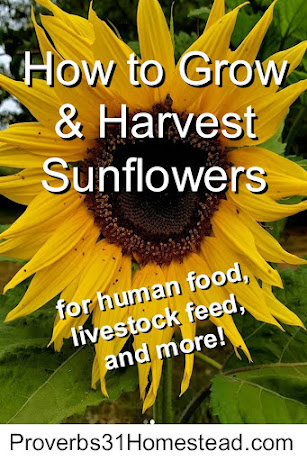 How to grow and harvest sunflowers for food