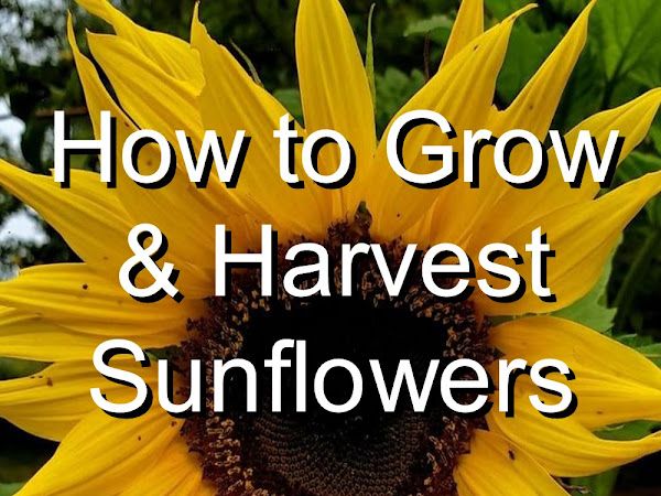 Growing & Harvesting Sunflowers (for human food, livestock feed, and more!)