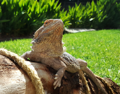 Facts bearded dragon