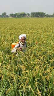 धान की फसल में कंडुआ रोग लगने से किसान चिंतित | #NayaSaberaNetwork